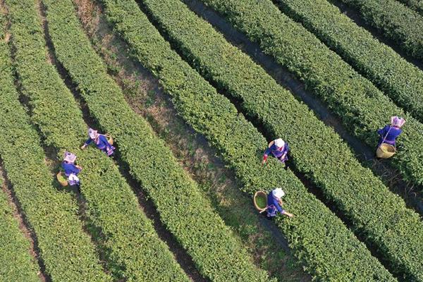 قطف أوراق الشاي بوسط الصين